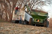 (c) AgriLife Studios, Nov. 2009, Corn Harvest, Rogers, MN.